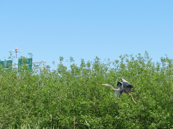 A heron takes off with I90 in the background